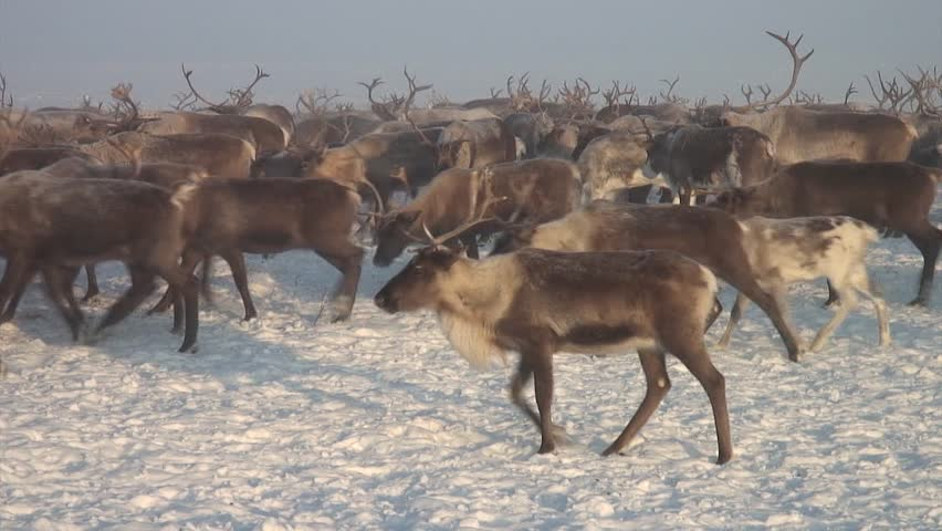 Herd of reindeer in the forest-tundra in the afternoon. #1018225576