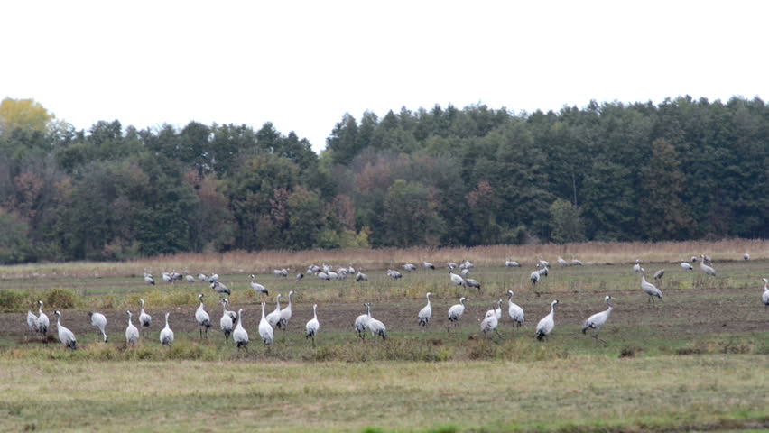 Flock of crane birds graze on a meadow at Rhinluch region at Brandenburg (Germany). Autumn bird migration. | Shutterstock HD Video #1018289386
