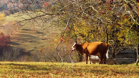 Cow taking a poop in mountain village farm