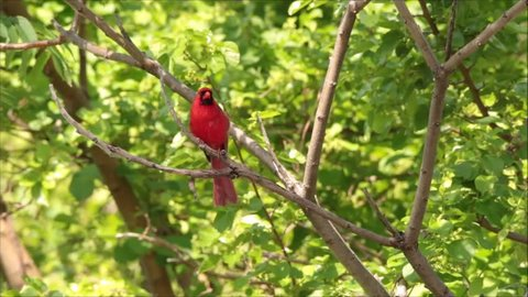 Male cardinal singing its bird song perched in tree.  Songbird singing.