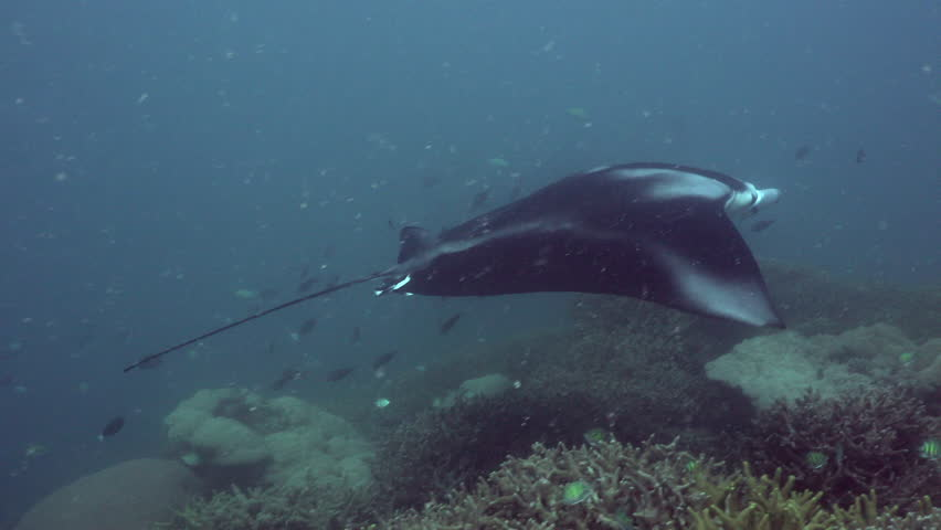 A Manta Ray swimming on top of a cleaning station, opening gills and getting a thorough clean. | Shutterstock HD Video #1018767886