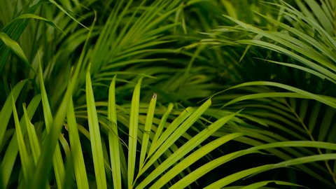 Blur tropical green palm leaf with sun light, abstract natural background with bokeh. Defocused Lush Foliage, veines, striped exotic fresh juicy leaves in shadow. Ecology, summer and vacation concept.