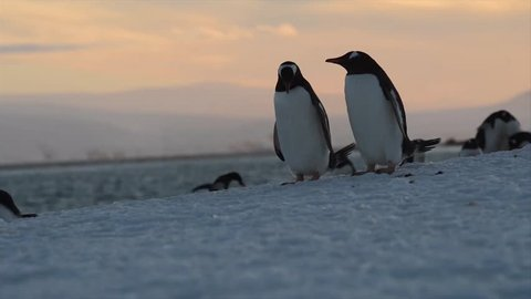 a penguin rookery along waterfront, chinstrap rookery and Timelapse of a penguin rookery at a waterfront Close-up shot of a Gentoo penguin in Antarctica
