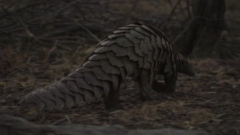 Ground pangolin walking with scales in focus