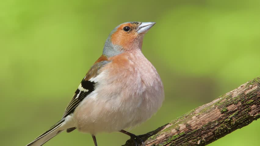 Common chaffinch. Close-up of the male in breeding plumage. | Shutterstock HD Video #1019178646