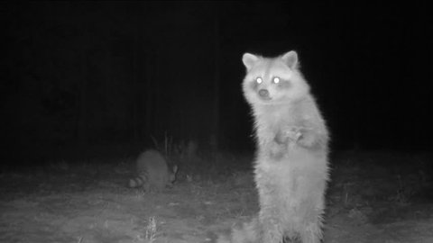 Raccoon (Procyon lotor) standing on it's hind legs watching for danger such as a bobcat or coyote while feeding at night. Rare infrared footage.