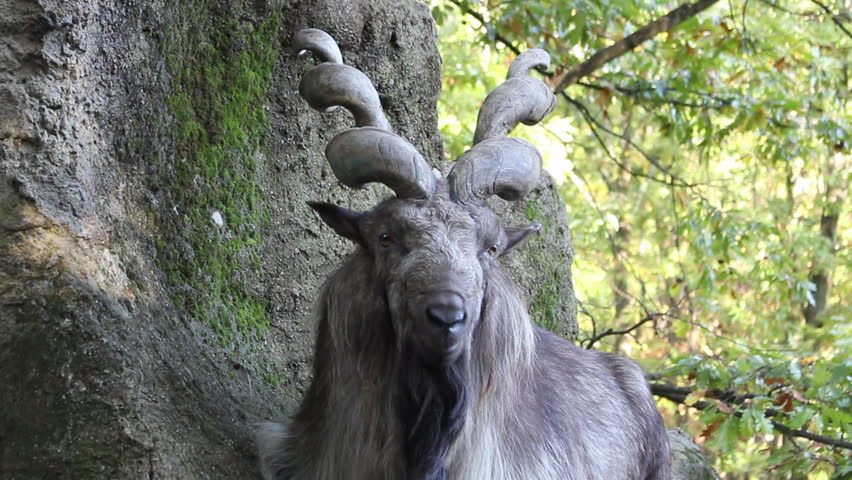Close-up of a Markhor sitting on a rock