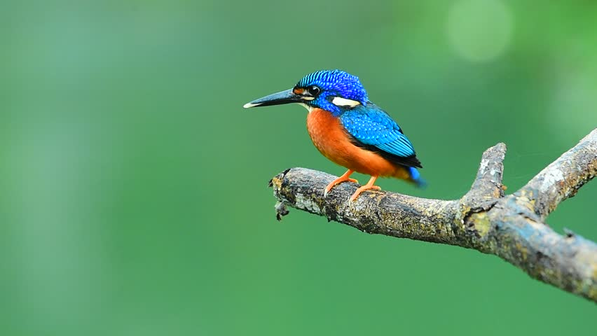 Male Blue-Eared Kingfisher bird perched on bamboo wood in the nature. Alcedo meninting #1019594956