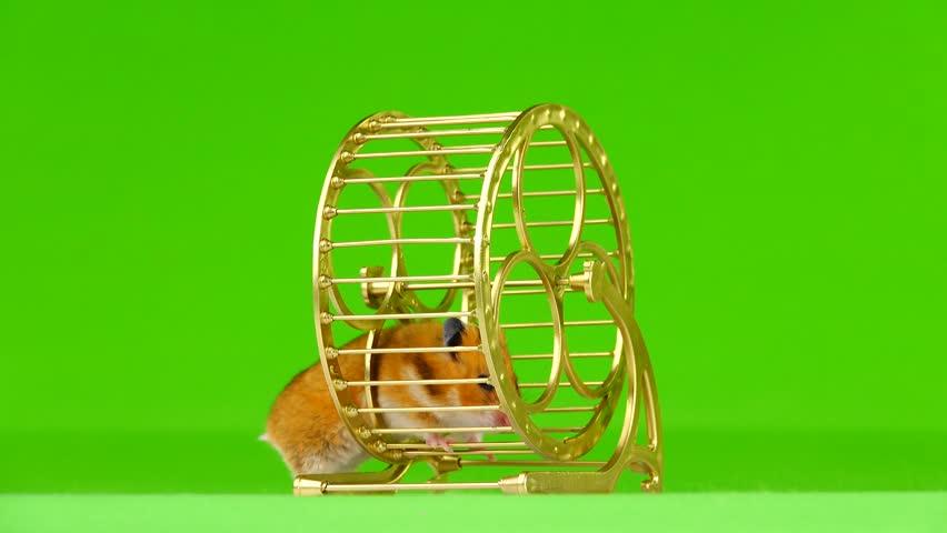 Hamster runs in a gold running wheel on a green background | Shutterstock HD Video #1019842606