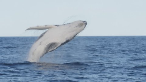 180p slow motion of a humpback whale getting airborne during a breach at merimbula in new south wales, australia