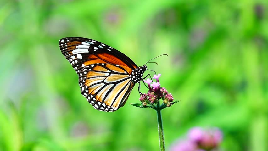 HD 1080p super slow Thai butterfly in pasture flowers Insect outdoor nature #1020404836