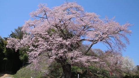 """Famous place """"Zesaiji jizou zakura"""" of the cherry tree in Tamura-shi of Fukushima."""