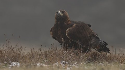 Golden Eagle in the forest meadow during rain and snowfall. Bird behaviour in the nature. Feeding scene with big bird of prey, eagle with catch, Germany, Europe.