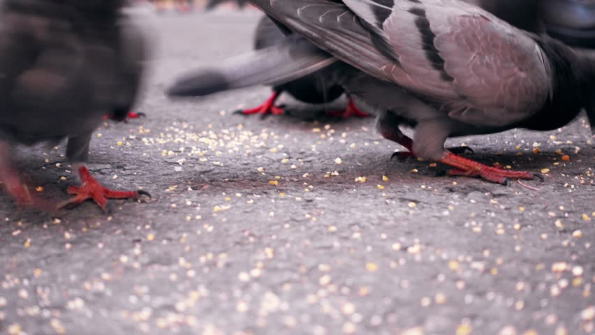 Group of pigeon eating | Shutterstock HD Video #1020510676