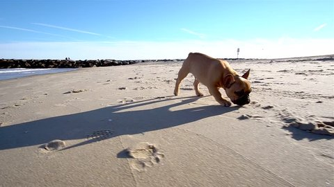 French bulldog puppy sniffing sand and running on sunny morning, Slowmo Pan