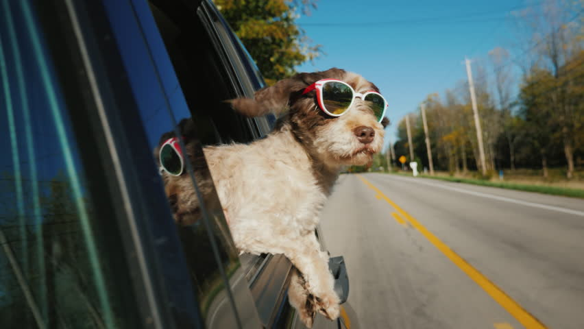 Funny dog in sunglasses looks out of the window of a car that rides in a typical US suburb | Shutterstock HD Video #1020517606