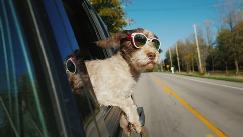 Funny dog in sunglasses looks out of the window of a car that rides in a typical US suburb