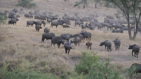 Cape Buffalo, very big herd of Cape Buffaloes in a waterhole. Thousand animals migrate to the water. Serengeti, Tanzania, Africa. 4 K, 59,94 fps