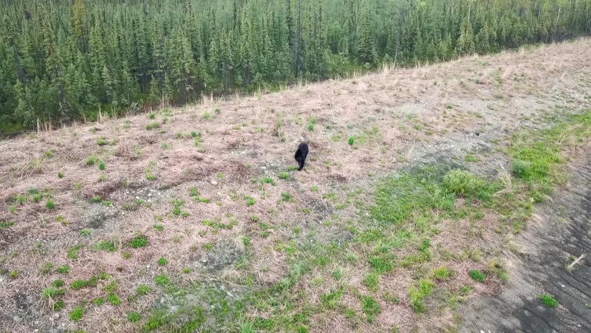 Aerial Forward Tilt: Black Bear Walking in Field | Shutterstock HD Video #1020630106