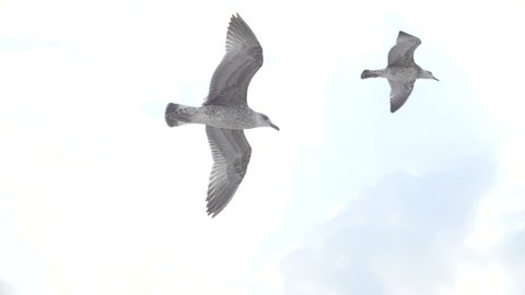 Seabird In Flight - Slow Motion video, Caspian Tern, Gull, Sea Bird