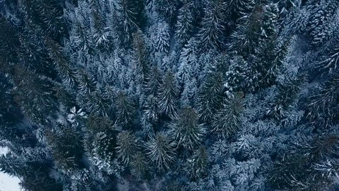 Aerial footage of winter fir tree forest in the mountains. View from above of pine trees covered with snow. Quadcopter flyover frozen snowy spruce woods. Christmas season. Cold frosty moody weather.