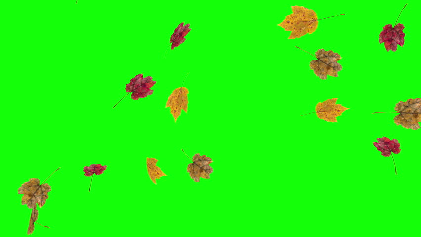 Autumn or fall leaves falling on green screen background. | Shutterstock HD Video #1020825826