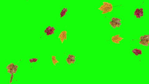 Autumn or fall leaves falling on green screen background.