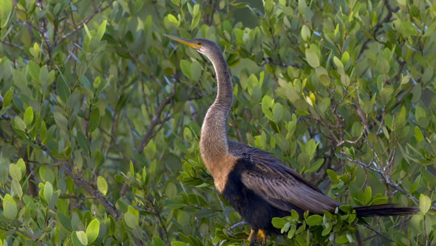 Anhinga (cormorant) resting on a bush at sunset. Very nice lighting. | Shutterstock HD Video #1020835636