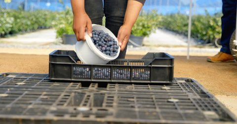 Surface level mid section view of worker transferring blueberries from white bucket in black plastic crate.