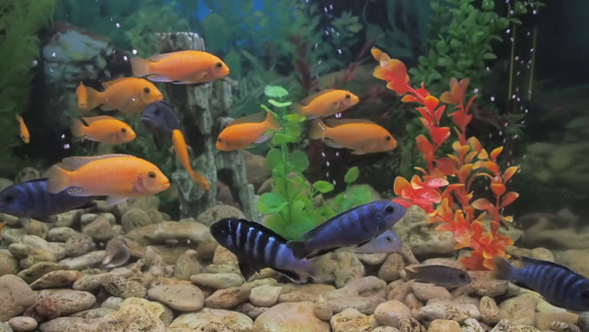 beautiful fish in the home aquarium colored cichlids rh shutterstock com beautiful fish for home aquarium most beautiful fishes for aquarium