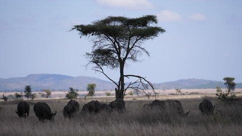 Cape buffaloes moving, savannah, Serengeti, Tanzania, Africa. 4 K, 59,94 fps