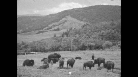 1940s: Steam rises from hot spring. Buffalo graze in mountain valley. Black bear wanders around on road near hills.