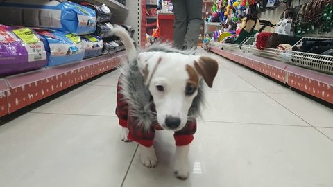 Small white terrier puppy have shopping in the pet store. NOW 24, 2018 MOSCOW, RUSSIA