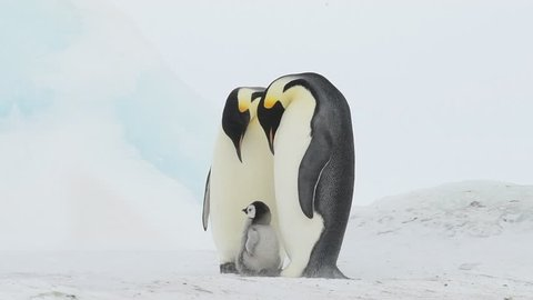 Emperor Penguin with chicks in Antarctica