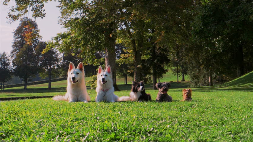 SLOW MOTION: A trained group of five dogs lays in the green summer grass. All except Border Collie suddenly start to run towards the camera. | Shutterstock HD Video #1021489666