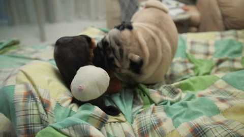 Playful active pug dog playing frolic, aggressive, with toy on bed. Home video