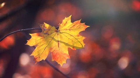 Autumn maple leaf backdrop. Yellow Autumn leaf over blurred autumn background. Fall background with colorful leaves, Colorful bright leaves, yellow, orange, red. 4K UHD video