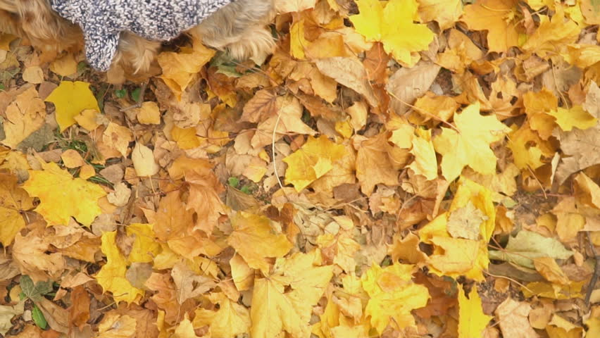 Dog breed Yorkshire Terrier | Shutterstock HD Video #1021635436