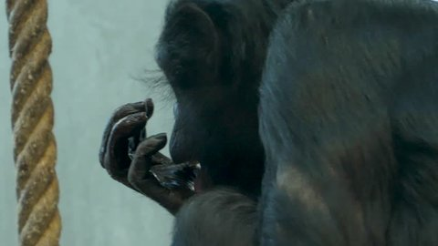 Bonobo, also called  pygmy chimpanzee, sits facing left. It licks its fingers.