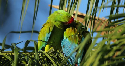 Parrot love on the palm tree, Two wild rare bird in the nature habitat, sitting on the branch in Costa Rica. Wildlife scene in tropic forest. Ara ambigua, Green parrot Great-Green Macaw on tree.