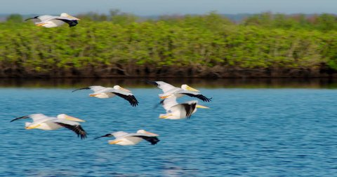 Flock of White Pelicans gliding together in formation in slow motion flying very low over nice blue water in Florida wetlands and everglades