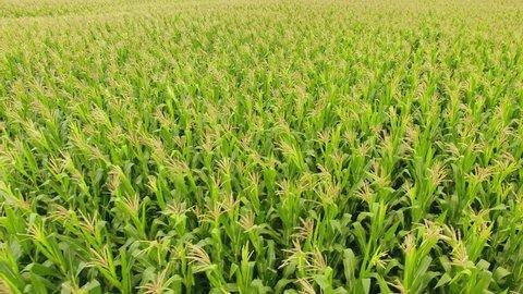 Corn field. Aerial view, cultivated maize crops. Brazil