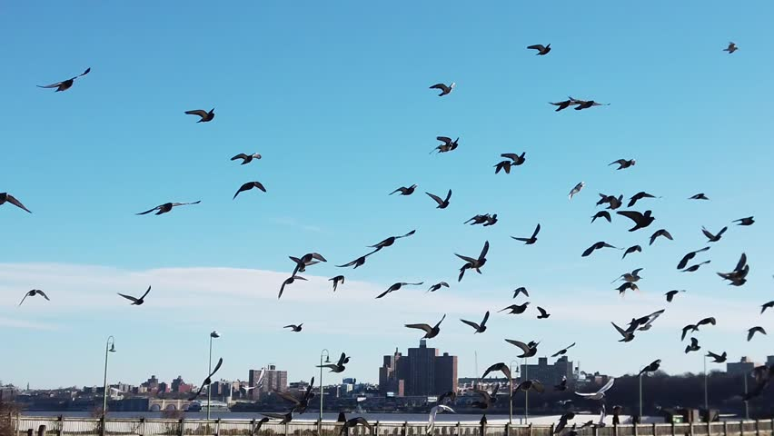 Pigeons flying in a pack on Hudson River Facing New York City | Shutterstock HD Video #1022247046