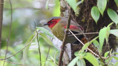 Scarlet-faced Liocichia bird in Thailand and Southeast Asia.