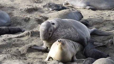 HD Video male elephant seal attempting to breed with female. Elephant seals breed annually and are seemingly faithful to colonies that have established breeding areas