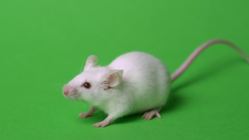 White laboratory mouse on a green background. Concept - animal experiments, vaccine trials, drugs #1022437516