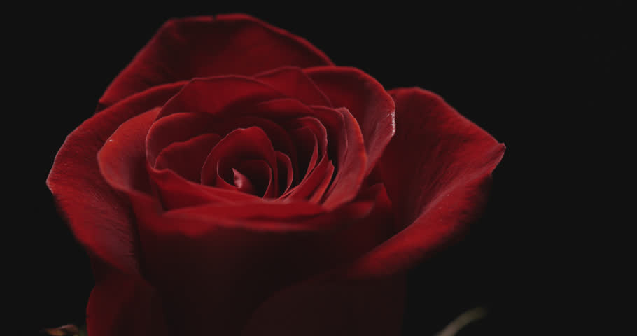 Close-up of Rose on black background.  | Shutterstock HD Video #1022455906