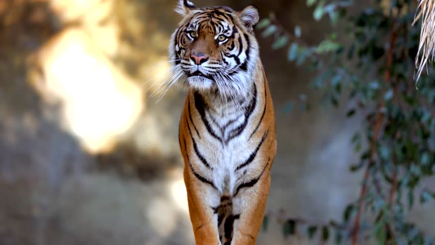 This epic video shows a wild tiger walking forward towards the camera and jumping. | Shutterstock HD Video #1022520346