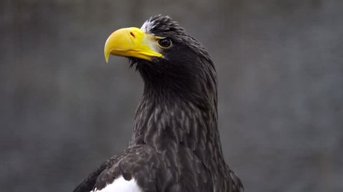 This video shows surprised giant wild stellar's sea eagle bracing itself and ducking to dodge and avoid a threat flying overhead.