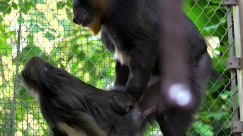 This video shows an alpha mandrill monkey male attempting to mate with a fellow female monkey.